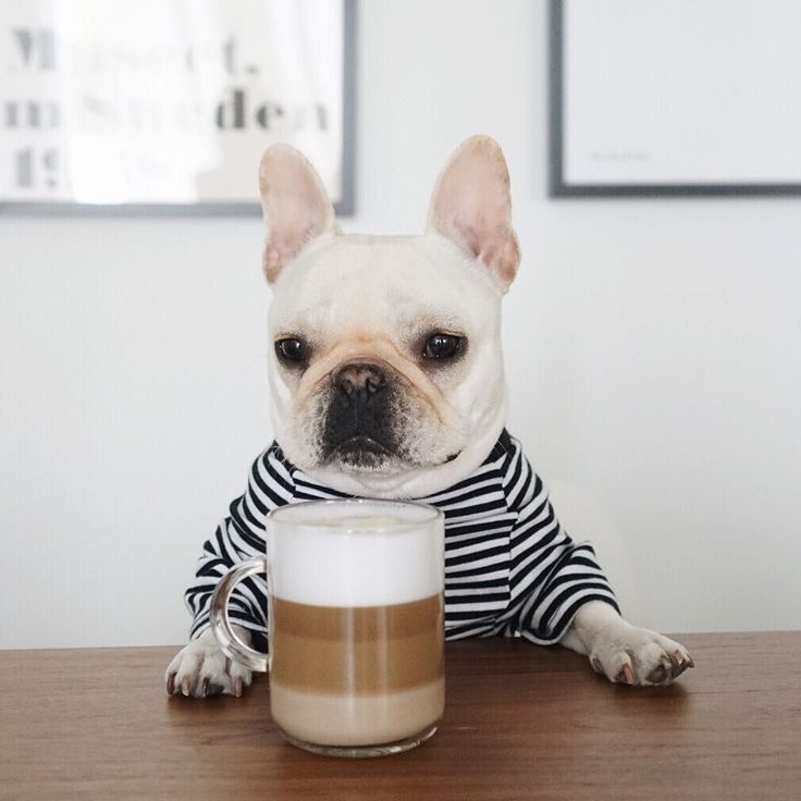 """""""This coffee looks fancy....I better drink it slow"""", adorable Barista, French Bulldog Puppy ❤️"""