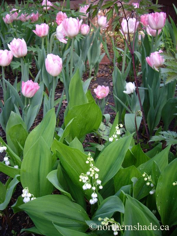 Tulipa 'Foxtrot' with Convallaria