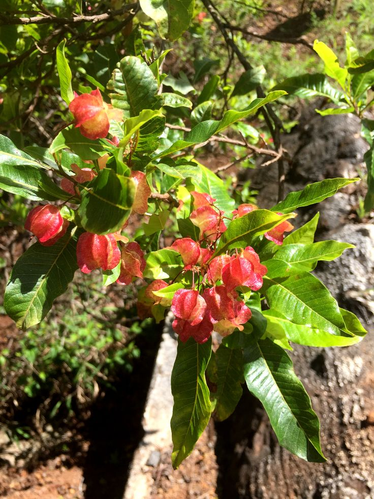 152 best hawaiian native plants images on pinterest