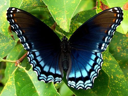 Black and Blue Butterfly (Limenitis arthemis) this would be such a pretty tattoo