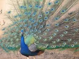 #discoverSFNHT Discover nature at Bent's Old Fort National Historic Site -- one of the resident peacocks