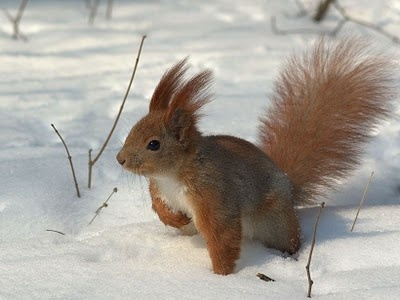 english squirrel in the snow