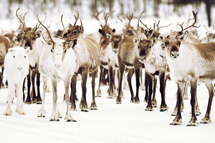 jämtland, sweden, reindeer