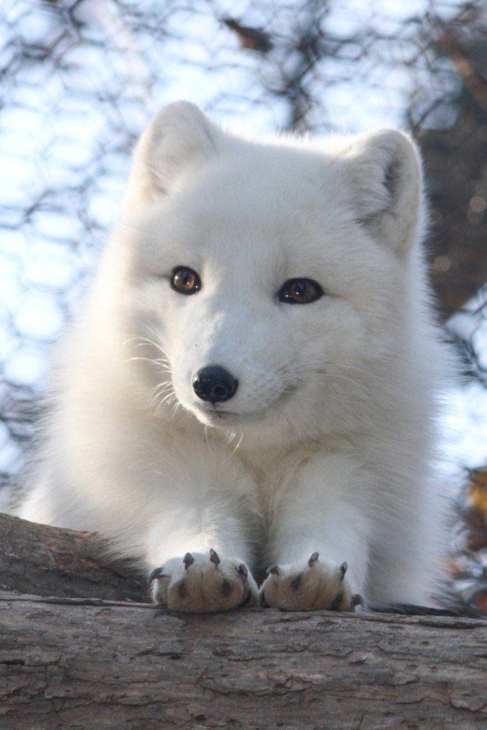 【ホッキョクギツネ】 北極原産の小型のキツネ。 極寒地帯に生息するため毛が非常に厚い。 寒さに非常に強い生き物で マイナス50度の地域にも生息している。