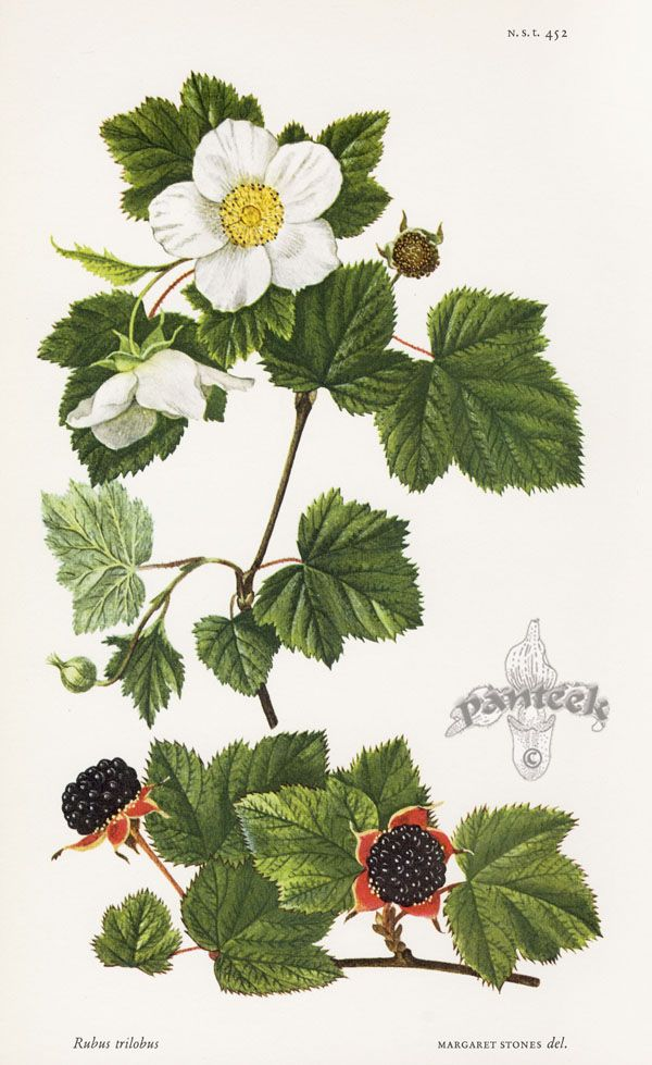 Rubus trilobus - William Curtis Botanical Prints from Curtis Botanical Magazine 1948 and After