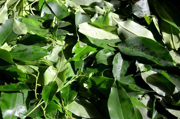 Takie marzenie: tarasy krzewów herbacianych, promienie słoneczne, wyraźne linie, soczyste kolory Himalajów. Kosze napełnione liśćmi. Zbieramy egzotyczną zieleń do picia, ja i roześmiane głowy z długimi warkoczami. Niebo po burzy…