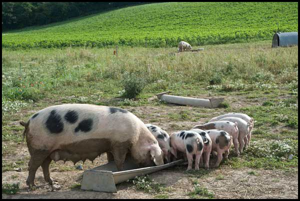 pigs: Gloucestershire Old Spot sow and piglets