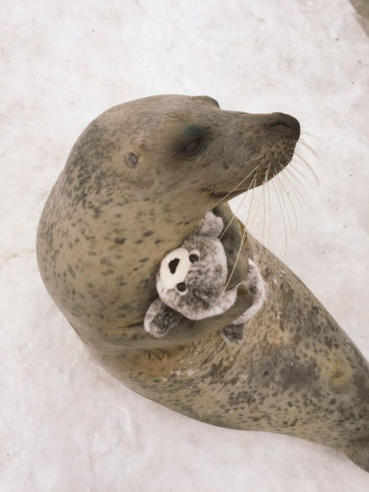 A Rescued Earless Seal Gives a Plush Miniature Version of Himself a Great Big Hug