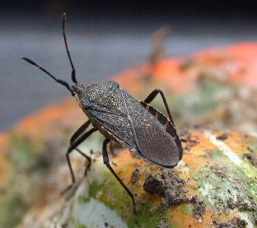 Living the Rustic Life: Thumb Tack: Avoiding Squash Bugs