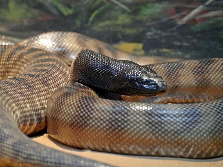 Fauna, Free Image, Free Photo, Australian Snake, Bush Animals, Zoo Sydney