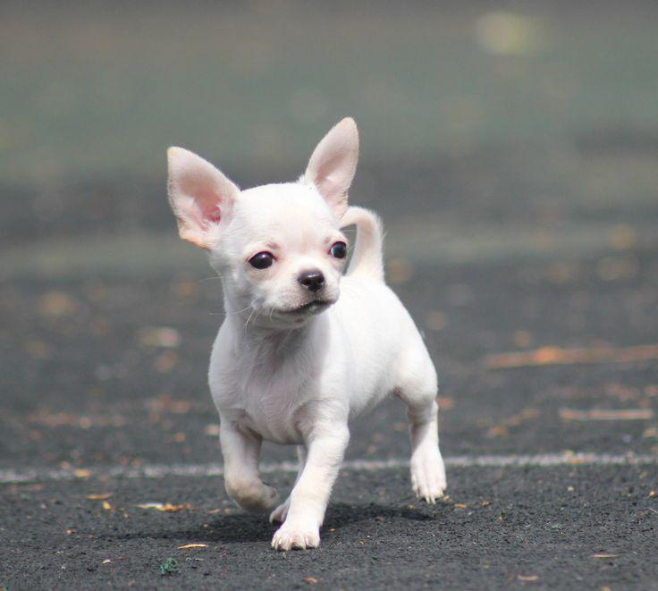 Чихуахуа Мальчик мини!Щенки Чихуахуа из питомника! Более 500 щенков Чихуахуа в каталоге! Все щенки привиты, документами и клеймом! https://www.instagram.com/chihuahua_msk/
