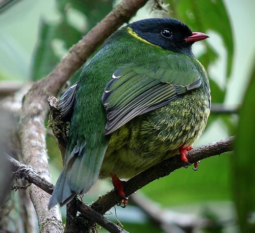 he Green-and-black Fruiteater (Pipreola riefferii) is a species of bird in the Cotingidae family. It is found in Colombia, Ecuador, Peru, and Venezuela.