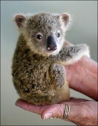 Tiny koala baby....and some human orgin..hopefully finger!