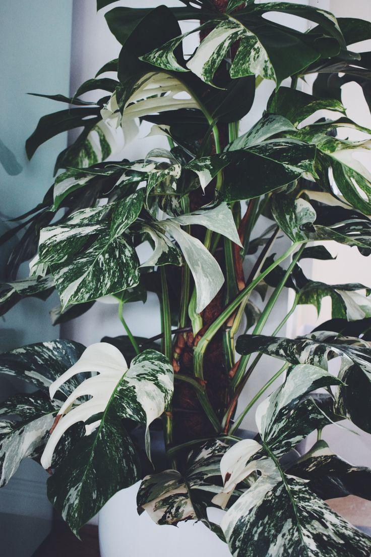 Monstera deliciosa variegata