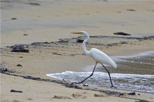 CAT-форум • Просмотр темы - Путешествия по Австралии: сухопутные и подводныебелая цапля - egret
