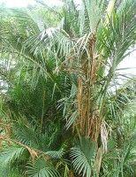 Metroxylon sagu  Metroxylon sagu  Metroxylon sagu of sagopalm is een van de oudste voor voedsel door mensen gekweekte gewassen.  In Xincun in China werden op een neolithische site sporen van sago gevonden in mortieren en ander maalgereedschap waaronder dat van......  Read More  Het bericht Metroxylon sagu verscheen eerst op Jungle Tuin.