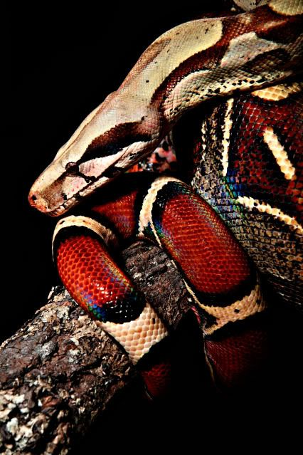 Boa constrictor - Colombian Red Tailed Boa