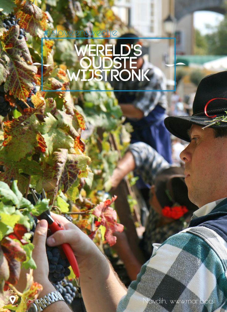 De oudste wijnstronk ter wereld staat in Maribor en na bijna 400 jaar wordt er jaarlijks 25 liter wijn gemaakt van zijn druiven. #sloveensweetje