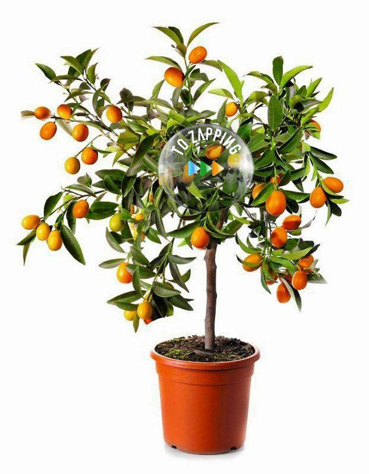C mo podemos cultivar arboles frutales en macetas manualidades pinterest - Como plantar arboles frutales ...
