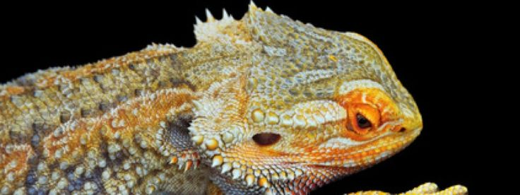 Unhealthy bearded dragons can show many symptoms. Here are14 signs to be aware of for an unhealthy bearded dragon.