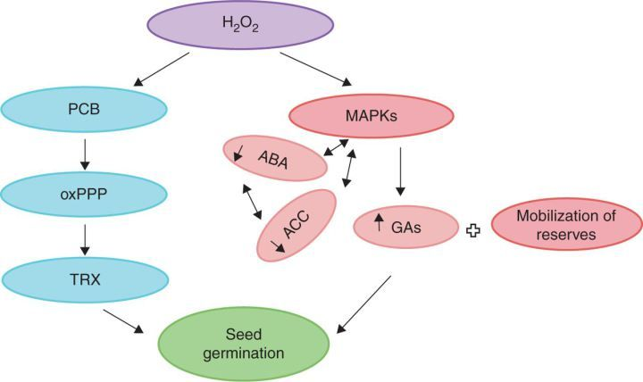 Dual role of reactive oxygen species in seed physiology (Review)