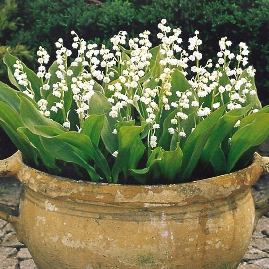Beautiful pot of lilies of the valley. Lily of the Valley (Convallaria majalis) makes a wonderful ground cover perennial. The very fragrant flowers appear in abundance in spring. They are ideal for growing in wild or woodland gardens or use for ground cover in a damp shaded border. They form dense colonies which can last a lifetime.