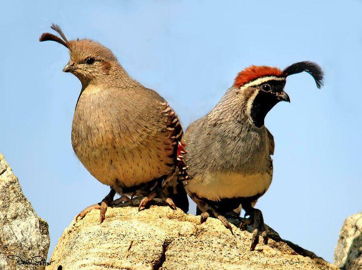 6 gambel quail game bird eggs presale ebay