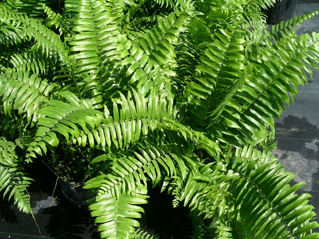 Macho Fern It Is One Of My Favorite Ferns For Containers