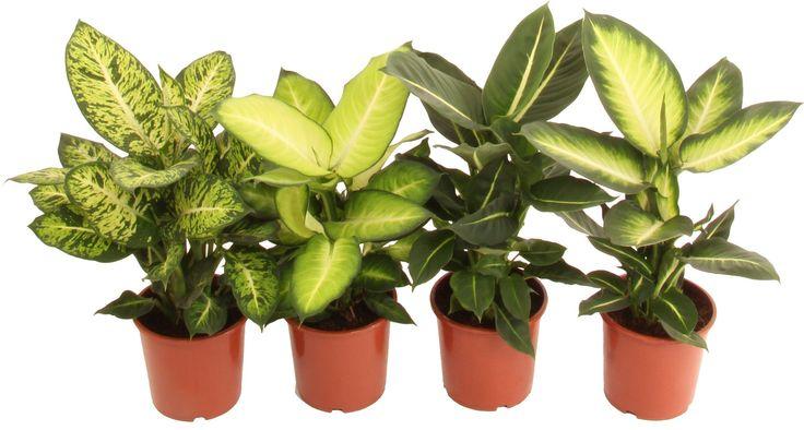 Dieffenbachia Mix 17cm. Preis 14.90. Die aus Kolunbien stammende Pflanze hat grosse, bis 75 cm lange, dünne gelb-grüne Blätter, die mit unregelmässigen hellgrünen Flecken besetzt sind. Die Blattunterseite ist blaugrün. Es gibt einige Sorten im Handel, zB 'Camilla' und 'Marianne'. Beste Preise für alle Produkte. Hier erfahren Sie alles über Aktionen, Cumulus, M-Budget und andere Preisvorteile. Suchen und finden Sie alle Produkte aus dem Migros Supermarkt und den Fachmärkten me...