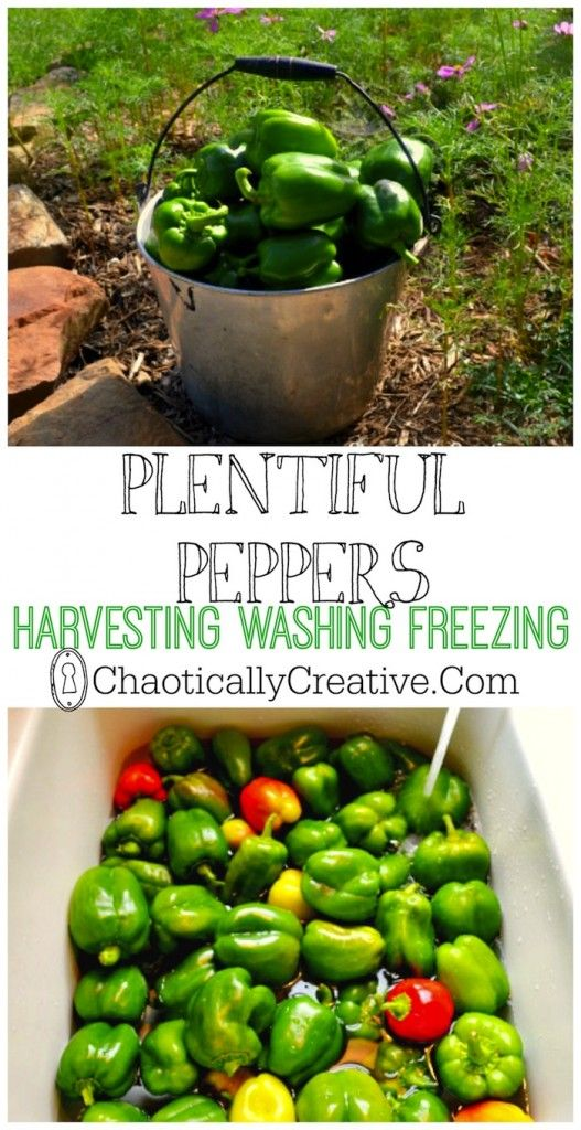 Plentiful Peppers HARVESTING WASHING AND FREEZING- Chaotically Creative