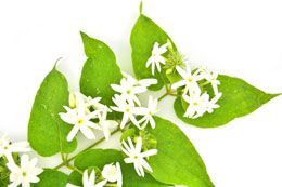 Star jasmine vine is a very popular flowering plant for planting in bare trellis, garden walls, and fences. It fills your yard with the rich fragrance of its innocent white flowers. This Buzzle article tells you all about its plantation requirements.