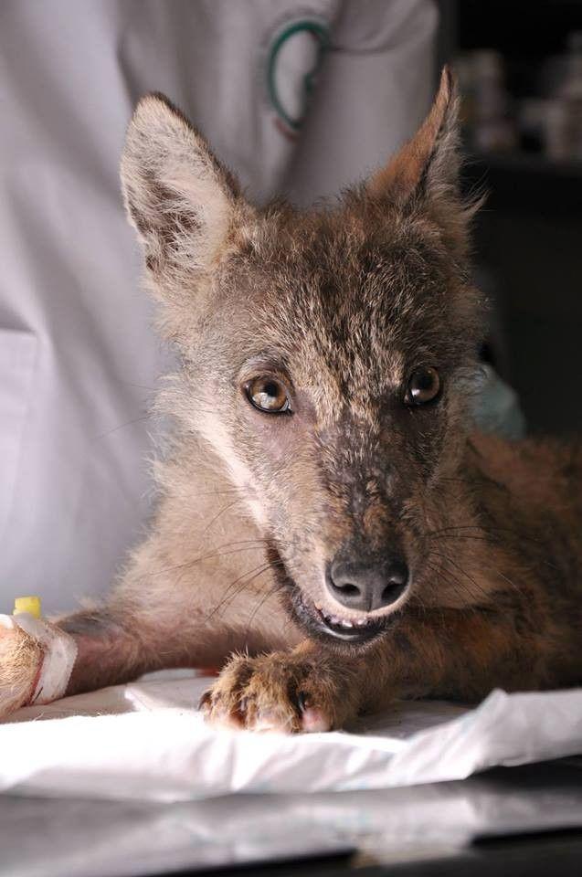 W poznańskim ZOO zamieszkają wilki