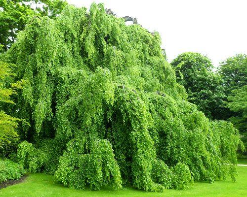 Fagus sylvatica ' Pendula ' Weeping European Beech Tree