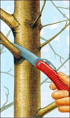 A guide for pruning trees from the USDA, and the Forest service