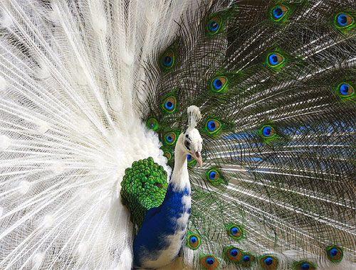 Half Albino Peacock - I need this bird in my life now!! so bizarre & freakishly awesome!Halfalbino, Pavo Real, Blue, Albino Peacocks, Beautiful Birds, White Peacocks, Peacocks Feathers, Half Albino, Animal