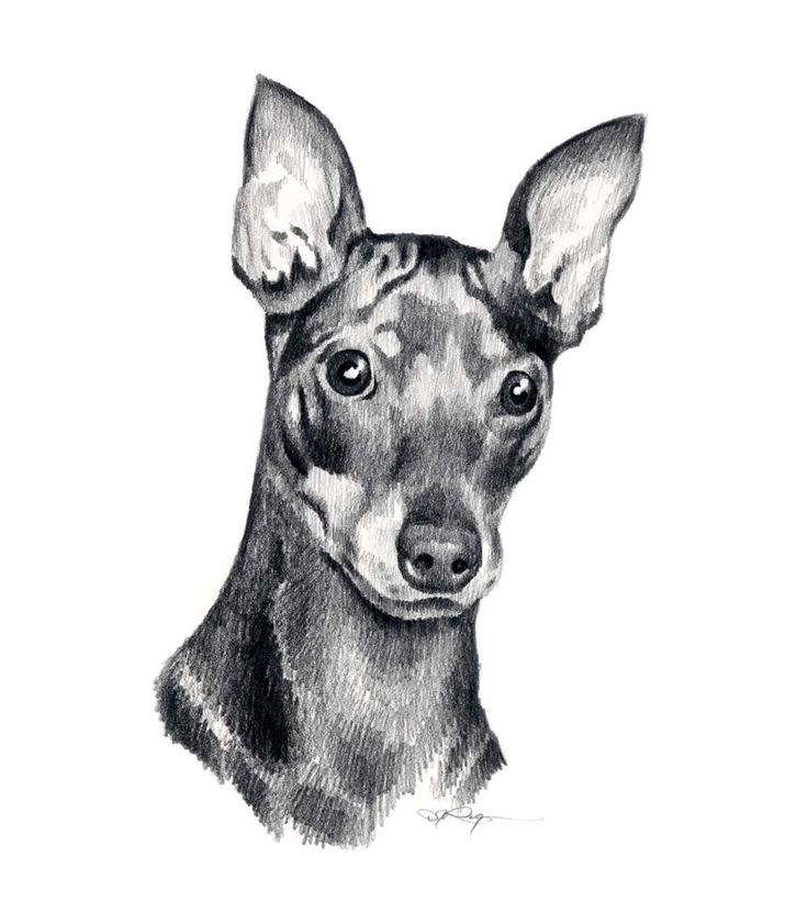 MINIATURE PINSCHER Dog Pencil Drawing ART Print Signed by Artist DJ Rogers. $12.50, via Etsy.