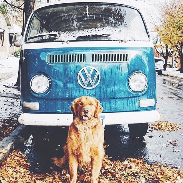 Golden Retriever (and don't you love the vintage VW!?!) Pic credits: @doggybro_chigasaki