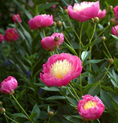 Paeonia (Peony) lactiflora 'Bowl of Beauty' - De Groot, Inc.