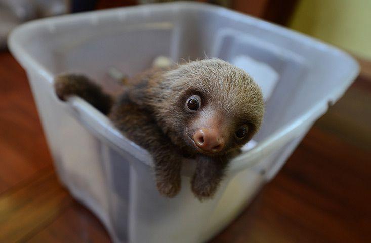 Penshurt, Costa Rica: a baby Hoffmann's two-toed sloth (Choloepus hoffmanni) at a sloth sanctuary Photograph: Rodrigo Arangua/AFP/Getty Images