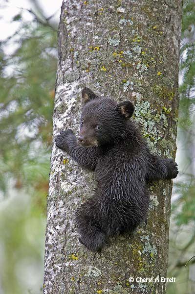 ~~Black Bear Cub tree climbing by Cheryl Ertelt~~