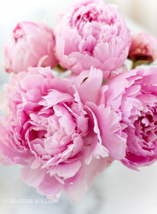 The Pink Peonies 181 best pink peony ❉ tearoom images on pinterest | flowers, pink