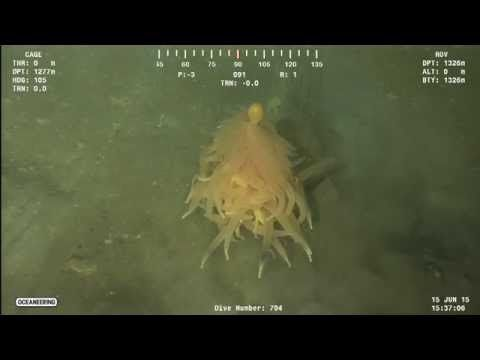 'Spaghetti Monster'? Deep-Sea Critter Has Pasta-Like Appendages - Yahoo News