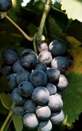 Barbera - Nebbiolo'dan sonra, Piemonte Bölgesi'nin ikinci önemli üzümüdür. Geç olgunlaşır, şarabı koyu renkli, yüksek asitli, düşük tanenli ve düşük alkollü olur. Barbera'dan yapılan şaraplarda olgun kiraz, vişne, böğürtlen, mürdüm eriği, baharat ve sedir aromaları hissedilir.