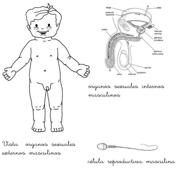 Aparato Reproductor Masculino Para Ninos Ninos De Preescolar Estrategias De Ensenanza Aprendizaje Fichas