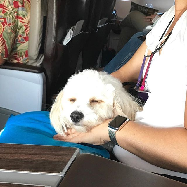 I slept almost entire time on the airplane to Seattle ✈️ #cavalier #cavachon #bichon #cavachonclub #puppy #cute #doglover #dogsofhawaii #dogsofinstagram #cavachonsofinstagram #kahala  #petphotographer #petphoto #studiodixphotography #dogoftheday #bestwoof #mydogiscutest #petstagram #ハワイ#ワンコ#キャバリア #ビション #キャバション #犬バカ部 #愛犬 #わんこなしでは生きていけません会 #cutepetclub #inumatome #cuteandepic