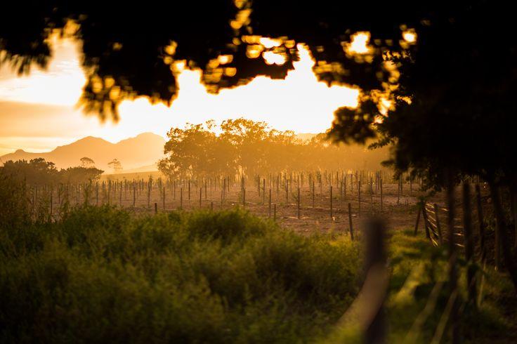 Hazendal Wine Estate, Stellenbosch, Vineyards
