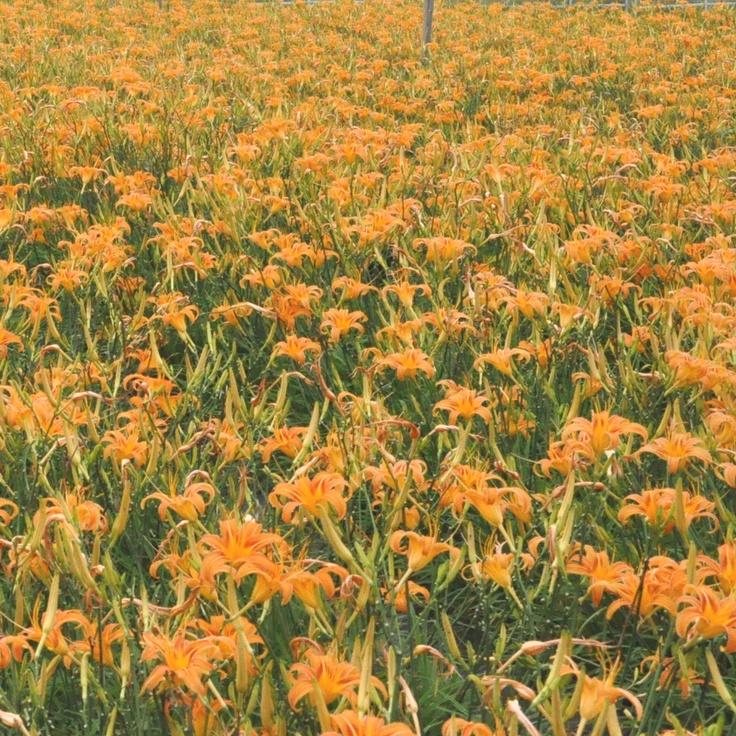My Favorite Flowers, Orange Day Lilies