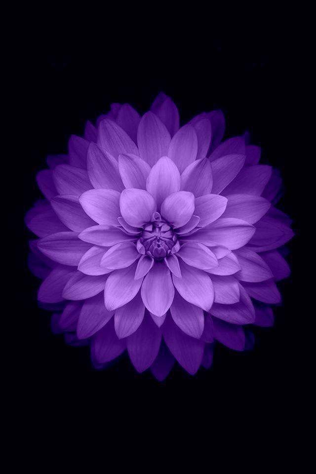 Purple Dahlia Wallpaper