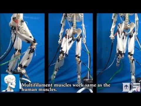 Musculoskeletal Robot Driven by Multifilament Muscles - YouTube