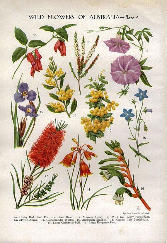 Antique Australian Wild Flowers Print, measures 9 3/4 x 7 inches, 25 x 18 cm including borders . 1930s . 80 years old . sourced from an antique book . will look beautiful framed . in good condition . other beautiful wild flower print on reverse side . lovely vintage feel